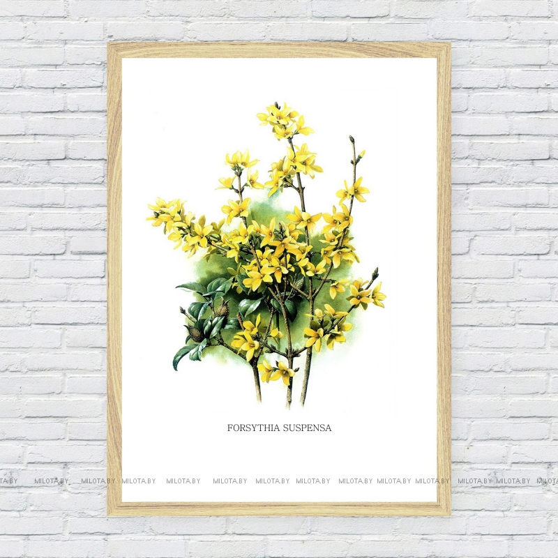 "Постер ""Forsythia suspensa"" от Интернет магазина Милота"